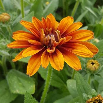rudbeckia-black-shed-flowers.5.jpg