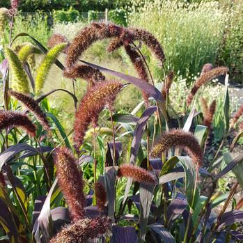 setaria-black-shed-flowers.jpg