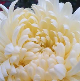 cream-chrysanthemum-black-shed-flowers.j