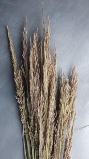 calamagrostis-bracytricha-black-shed-dri