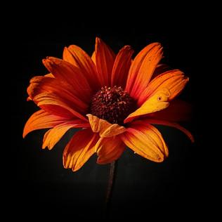 helianthus-black-shed-flowers.jpeg