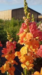 orange-antirrhinum-black-shed-flowers.jp