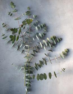 black-shed-eucalyptus-pulverulenta.jpg
