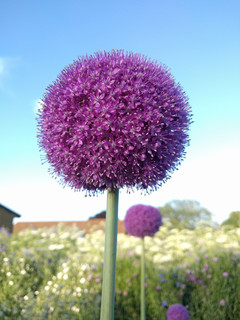 allium-black-shed-flowers.jpg