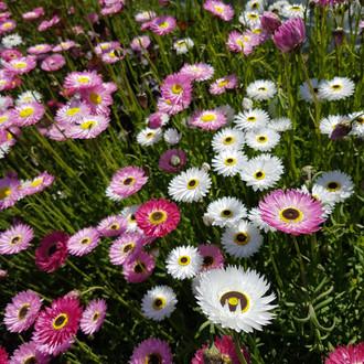 acroclinum-black-shed-flowers.jpg