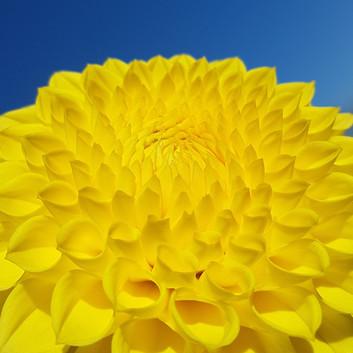 yellow-dahlia-black-shed-flowers.jpg