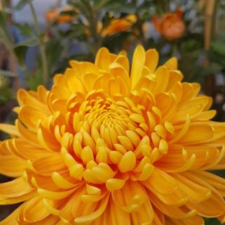 orange-chrysanthemum-black-shed-flowers.