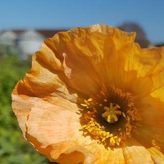 iceland-poppy-black-shed-flowers.jpg