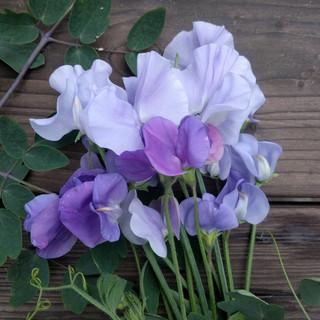 sweet-peas-black-shed-flowers-3.jpg
