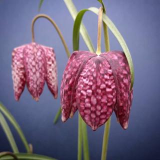 fritillary-black-shed-flowers.jpg