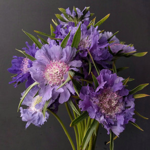 scabious-black-shed-flowers.jpg