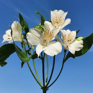 white-alstromeria-black-shed-flowers.jpg