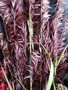 melica-atropurpurea-black-shed-flowers.j