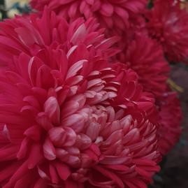 red-chrysanthemum-black-shed-flowers.jpg