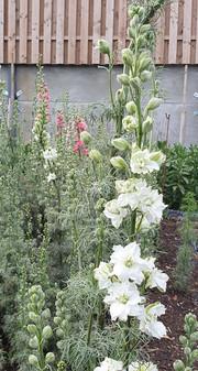 white-larkspur-black-shed-flowers.jpg