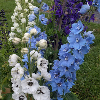 delphiniums-black-shed-flowers.jpg