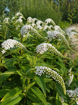 lysimachia-clethroides-black-shed-flower