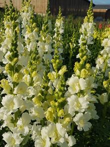 white-antirrhinum-black-shed-flowers.1.j