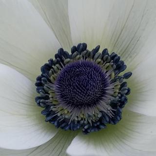 white-galilee-anemone-black-shed.jpg