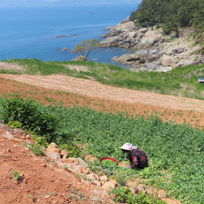 Île de Namhae. Sea, garlic and sun !