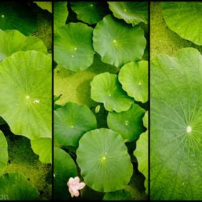 Lotus et rizières, 50 nuances de vert
