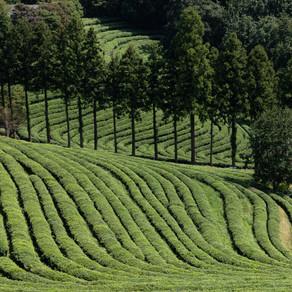 Photogéniques collines de théiers