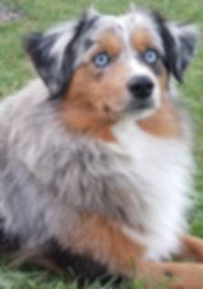 national, internatonal, champio, adopt, adopt a puppy, blue eyed, big blue eyes, champion