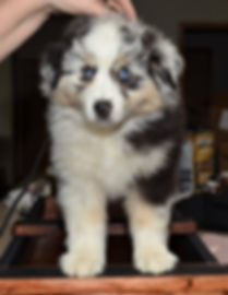 pearl, champion, female, girl dog, puppy, adoption