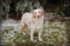 cream colored, dog, adopt, pleasant valley, calico, gentle dog