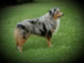 blue eyed, bandit, national, international champion, dog, adopt a dog, adoption