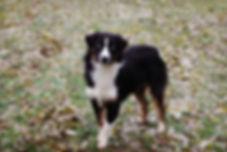 female dog, legendary, pleasant valley, adopt, blue eyed, black an white dog