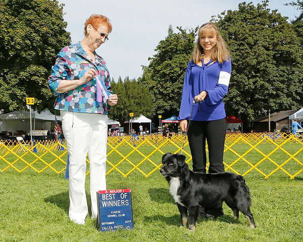 National Junior Puppy, Champion, Champion dog, International Junior puppy, Honors Champion, Mini Aussie, winner, IABCA