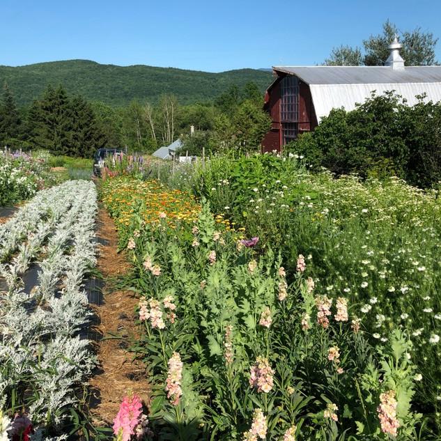 flower fields springtime
