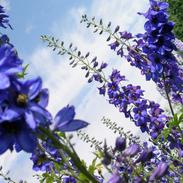 heavenly blue delphiniums
