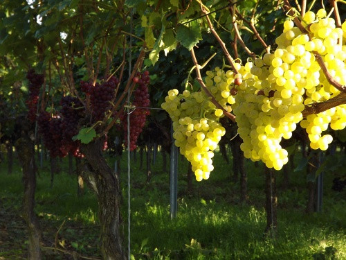 different grapes in the vinyard