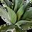 Thumbnail: Agave Atenuata 135cm
