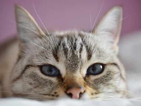 Почему кошки виляют задом перед тем, как атаковать?