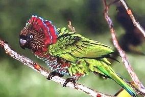 papagaio anacã
