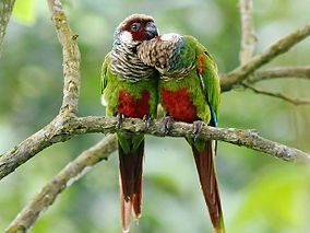 Grey-breasted-parakeet-pair.jpg