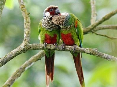 Grey-breasted-parakeet-pair.jpg