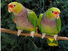 Papagaio de Peito Roxo.jpg