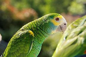 Papagaio da Venezuela.jpg