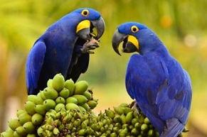 Arara Azul Grande.jpg