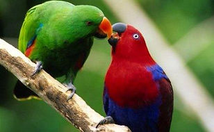 papagaio ecletus
