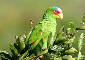 Papagaio de Testa Branca.jpg