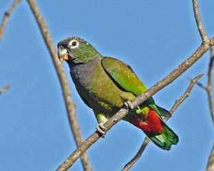 Maitaca verde - Curica