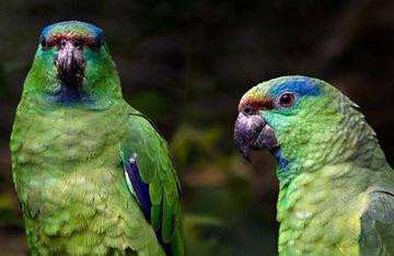 Papagaio festiva