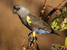Papagaio de Ruppell.jpg