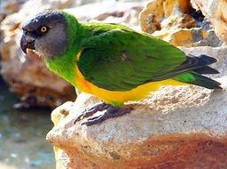 papagaio do senegal