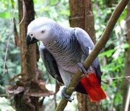 Papagaio do Congo.jpg